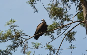 How Vulture Conservation Can Prevent Another Pandemic